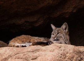 Bobcat. Photo by Joshua Barnett / Flickr. CC BY 2.0.