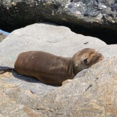 Sea lion pups are beaching themselves in high numbers in the spring of 2010, with El Nino conditions amid a sparse easy food supply for them. Photo courtesy of Peter Wallerstein.